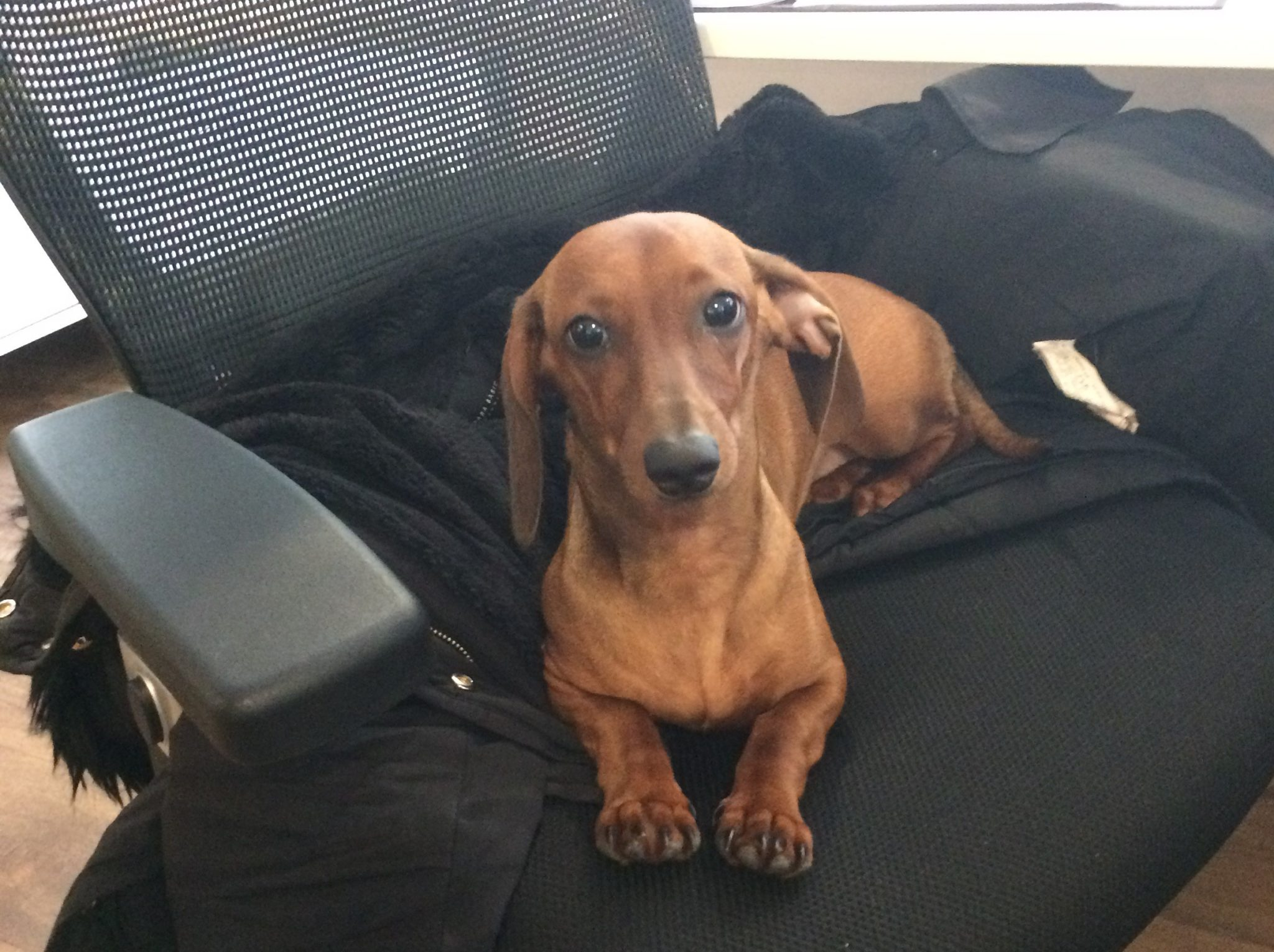 Coco The Sausage Dog
